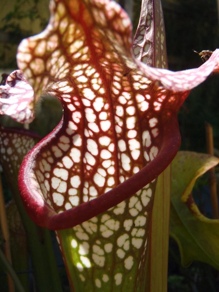 Sarracenia leucophylla hybrid