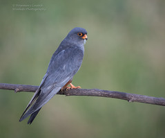 Male Red Footed Falcon - Falco vespertinus