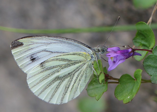 Green veined White, Canon EOS 60D, Canon EF 100mm f/2.8L Macro IS USM