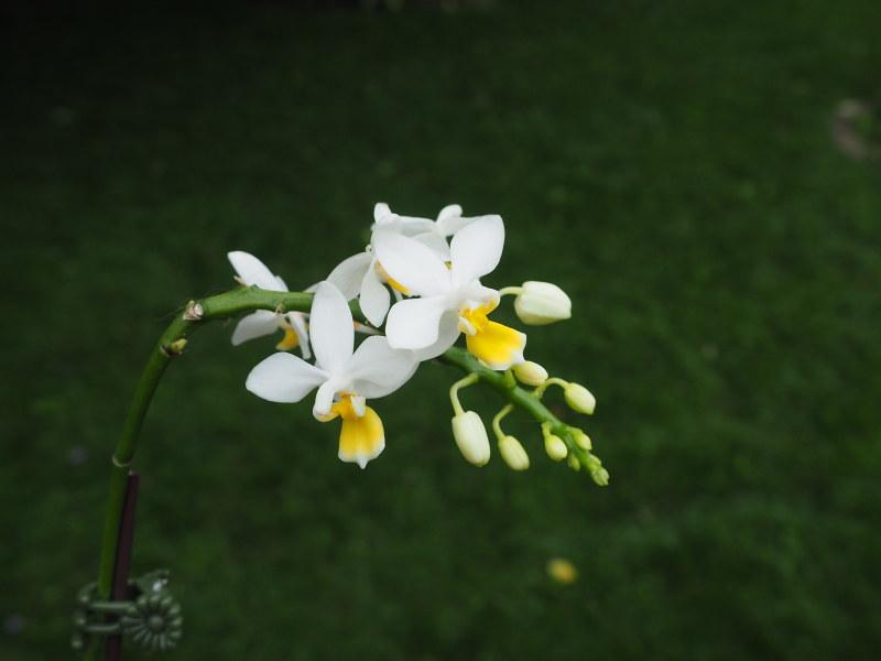 Phalaenopsis equestris var. aurea 36617362331_d57ec1be94_c