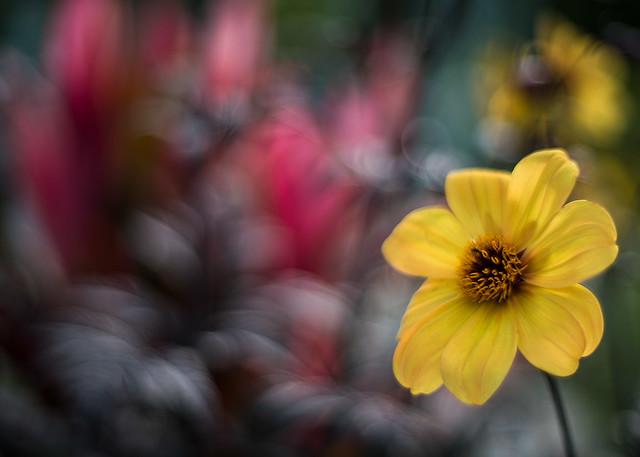 sunflower bokeh 7308