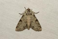 Polia nimbosa (Stormy Arches Moth) - Hodges # 10275
