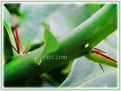 Woody stem of Pereskia sacharosa (Needle Seven Blade, Seven Star Needle, Rose Cactus, Tree Cancer, Jarum Tujuh Bilah in Malay) are heavily armed with needle-like thorns, 11 Sept 2017