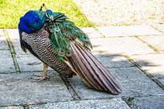Peacock,Larmer Gardens ,Wiltshire.