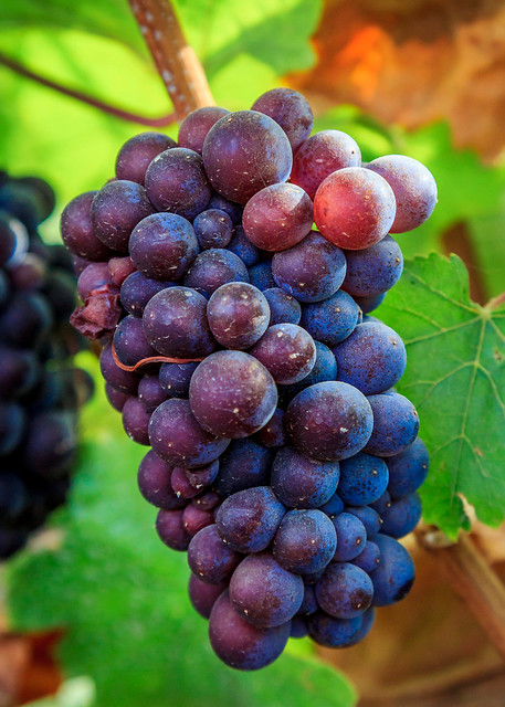 Pinot Gris grape cluster