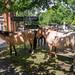 Burley Ponies