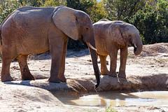 African Bush Elephants drinking water