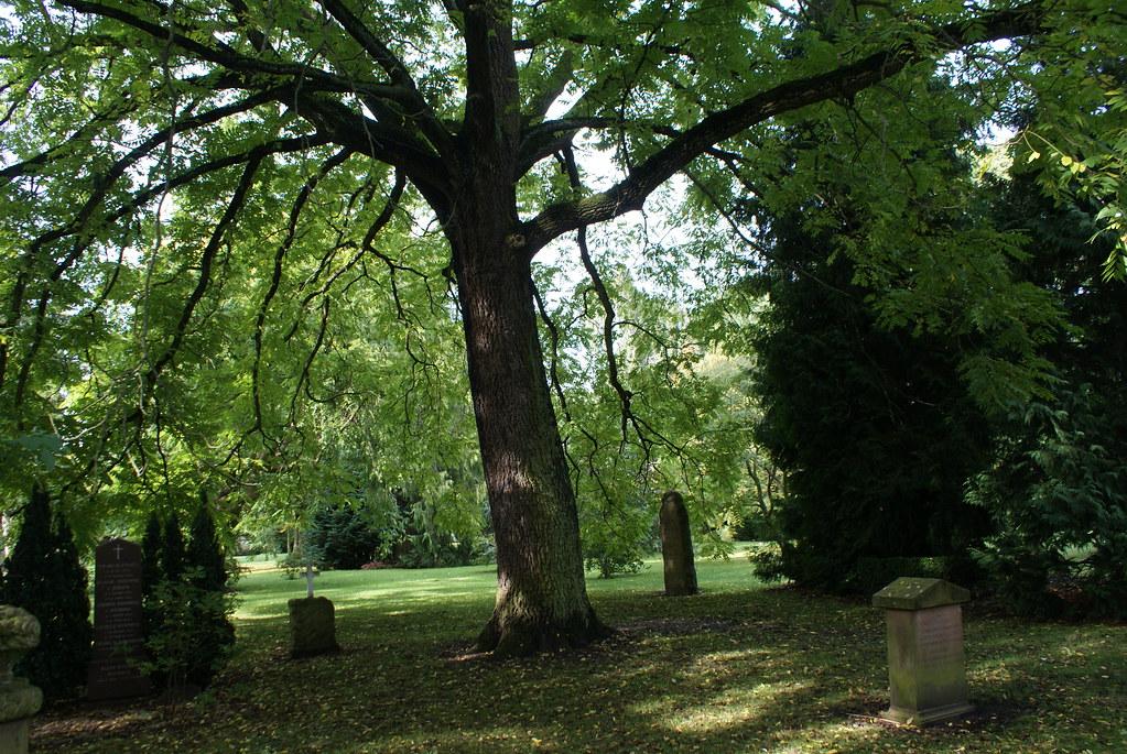 Un beaux arbres (un frêne) du cimetière Assistens Kierkegaard à Copenhague.