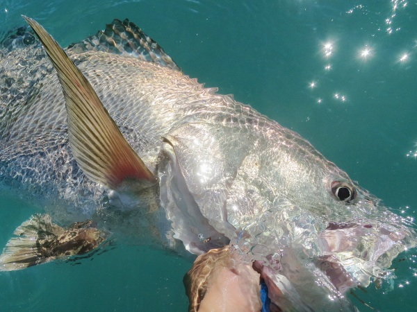 Blue Spotted Seabass