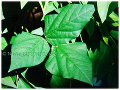 Green trifoliate leaves of Psophocarpus tetragonolobus (Four-angled Bean, Winged Bean/Pea, Princess/Asparagus Pea, Manila/Goa Bean, Kacang Botol in Malay), 28 Sept 2017