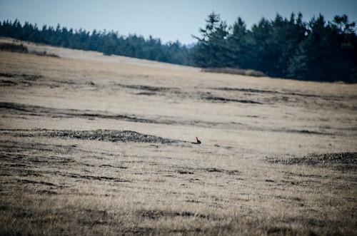Wild Rabbits on San Juan Island-001