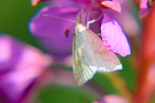 Pale moth on willowherb flower