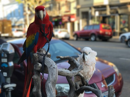 Parrots on 16th Street