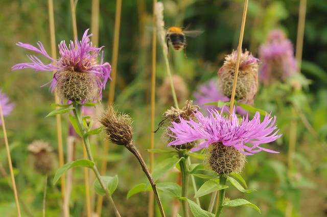 Phrygische Flockenblume Centaurea phrygia, Nikon D300, AF-S DX Zoom-Nikkor 18-70mm f/3.5-4.5G IF-ED