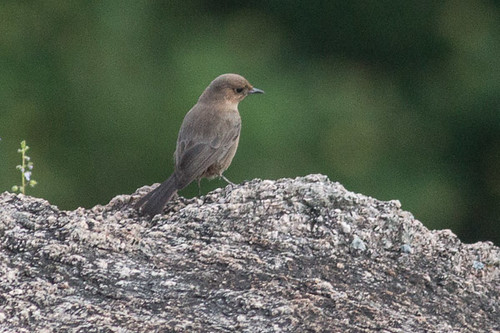 Brown Rock Chat ?