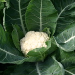 summer cauliflower