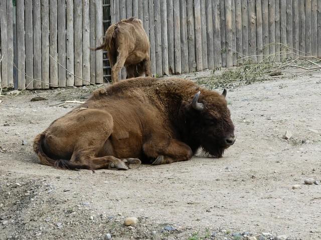 Präriebison, Zoo Prag