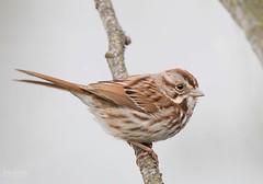 Sing Sparrow