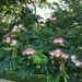 Small photo of Albizia julibrissin (Silk Tree, Mimosa, Albizia)
