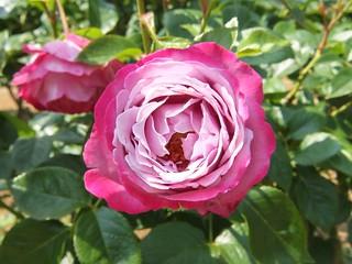 谷津バラ園の薔薇 04