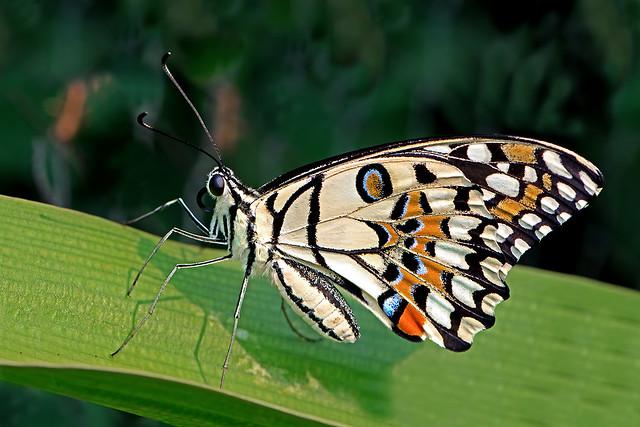 Papilio demoleus - the Lime Butterfly