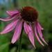 2017 08 05 - pink echinacea 4