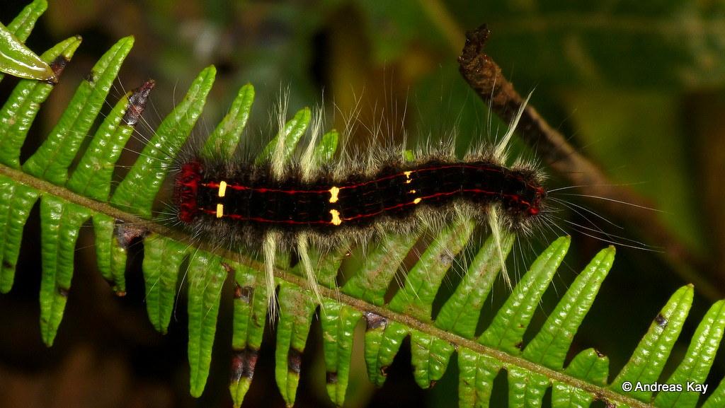 Hairy caterpillar, Lasiocampidae