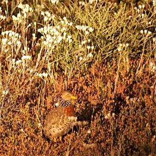 Female Plains Wanderer, Hay Plain via Deniliquin, New South Wales