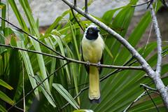 Inca Jay (Cyanocorax yncas yncas)