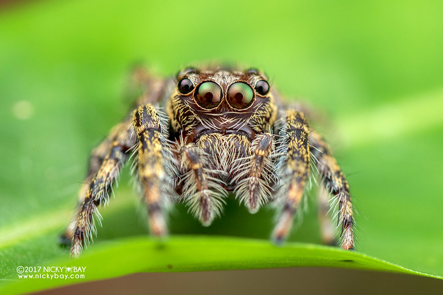 Jumping spider (Salticidae) - DSC_8864
