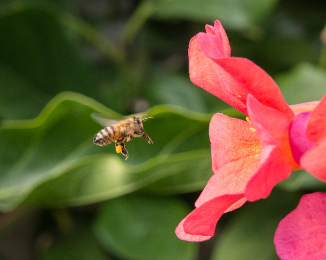 bee approaching flower