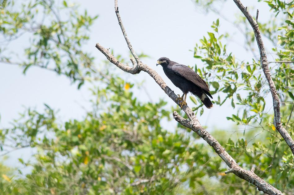 Kaldaviu, Buteogallus, anthracinus, Common, Black, Hawk, Lesser, Carara, National, Park, Costa Rica, viu, Kaido Rummel