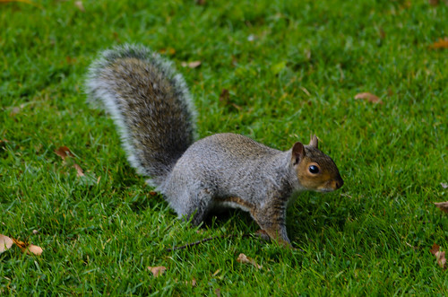 Squirrel on the alert, West Park