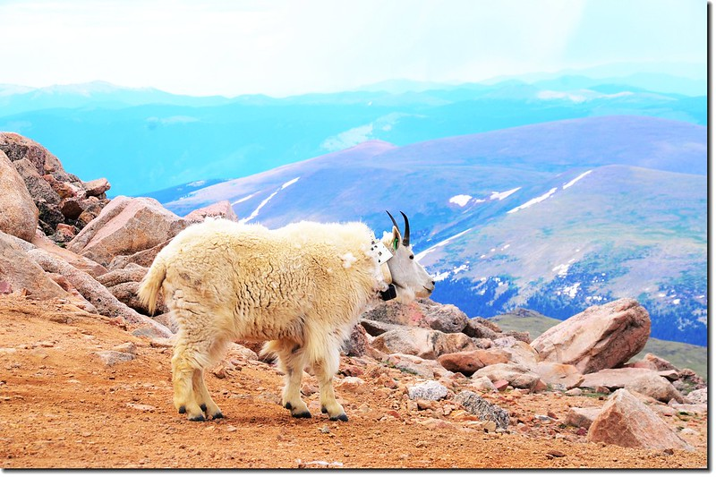 Mountain Goat 5
