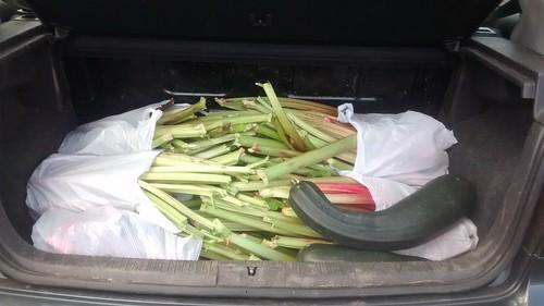 rhubarb Aug 17 (1)