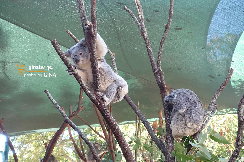 澳洲黃金海岸自由行》可倫賓野生動物園(Currumbin Wildlife Sanctuary)看無尾熊跟袋鼠囉! @Gina Lin