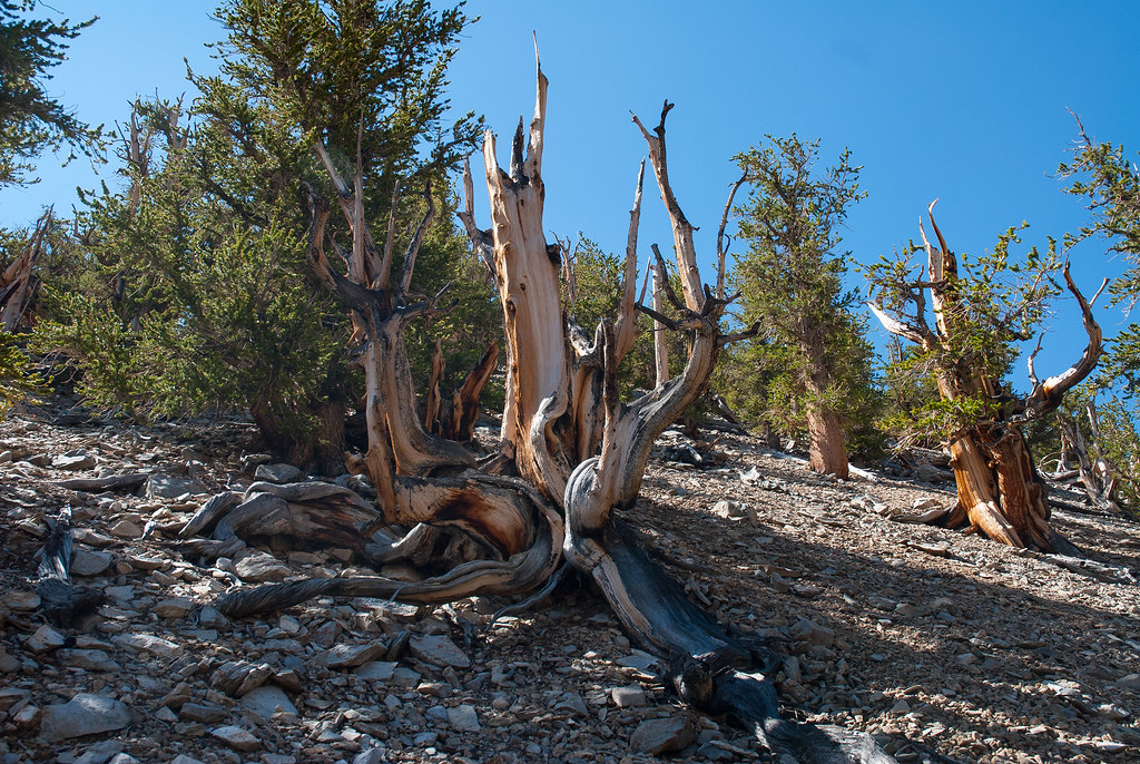 Ancient Bristlecone Forest (22 of 25)