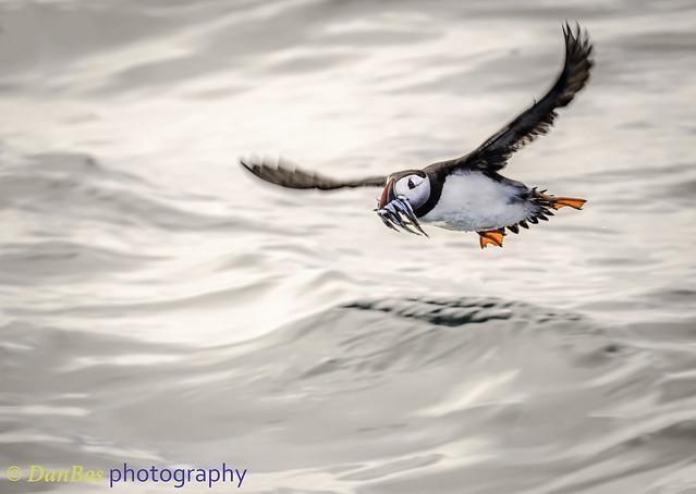 Atlantic Puffin fishing