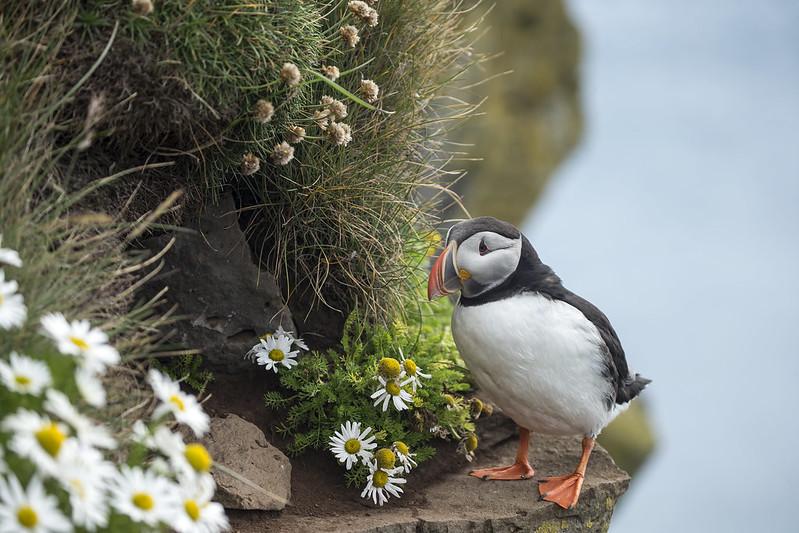 Birdcliff, Látrabjarg, Iceland