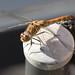 Common Darter (female) Dragonfly by Tim Ebbs