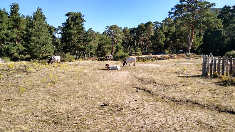 Vacas disfrutando de la pradera, junto a la Cueva del Monje