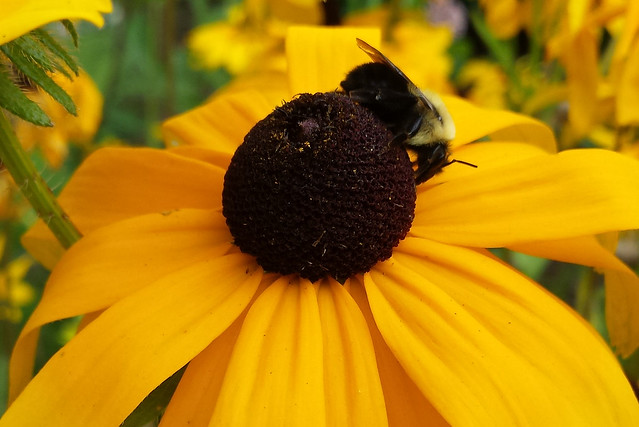 likely a bumblebee on the right side of the center disk, facing downward