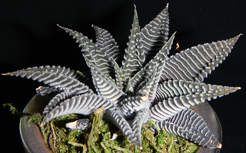 _Haworthia limifolia var. striata