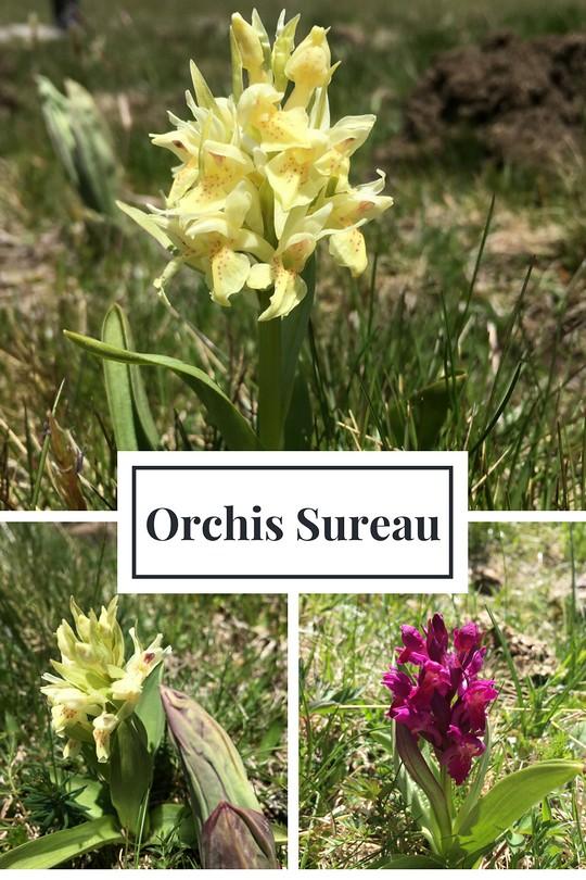 12_Orchis Sureau