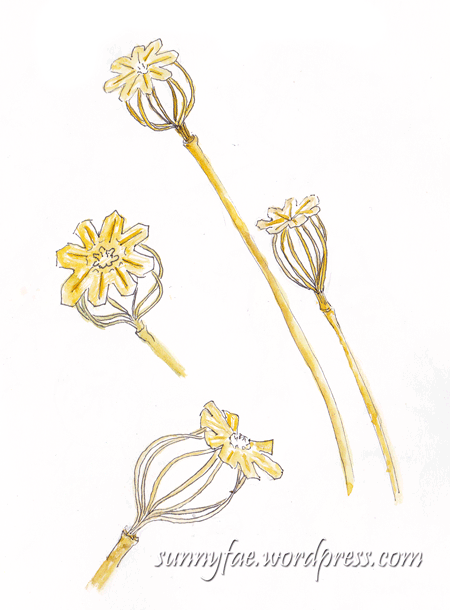 skeleton poppy seed head sketch 2