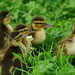 ducklings in clover