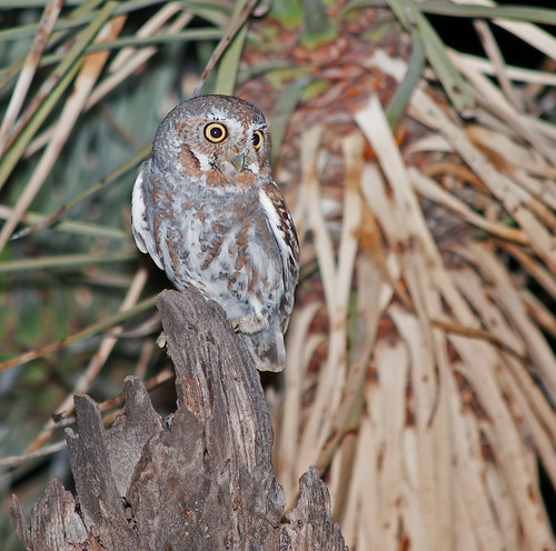 owl sonoran desert elow arizona