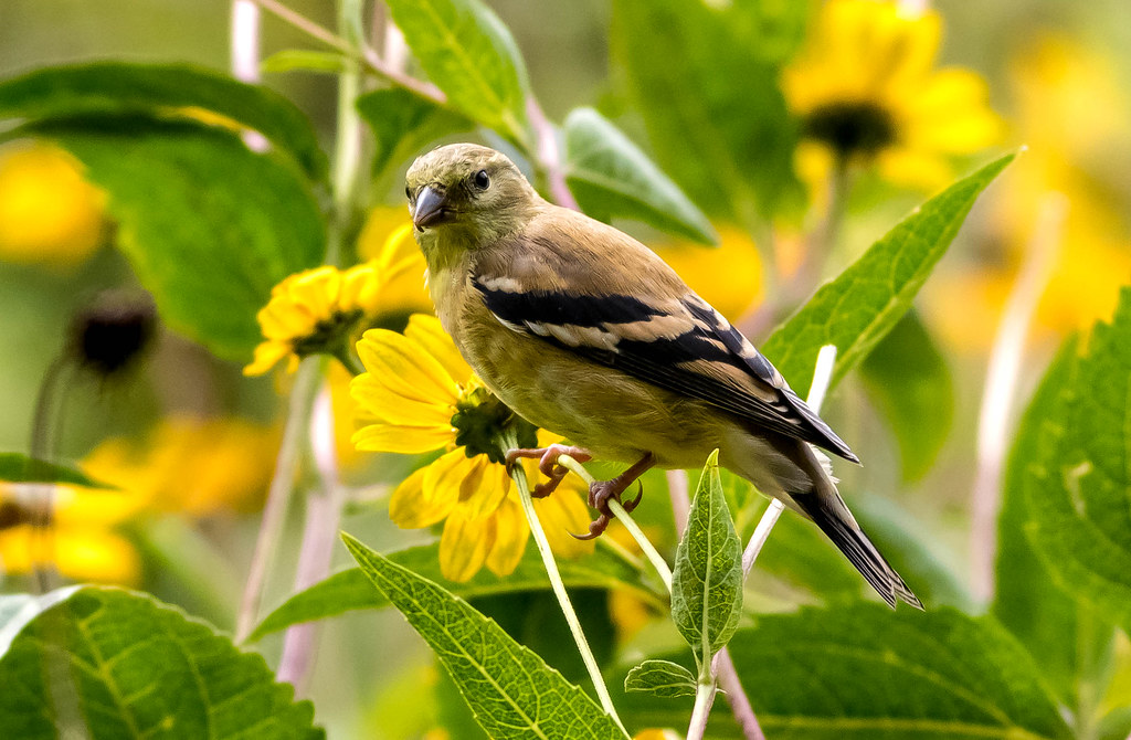 American Goldfinch (non-breeding plumage)