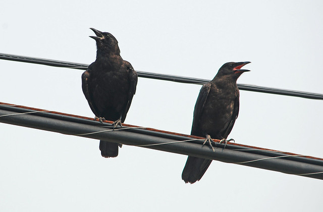 hot crows on a wire