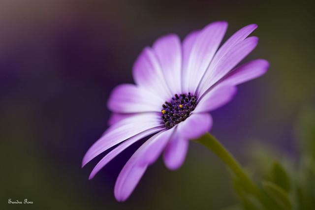 Margarita, la flor de, Nikon D7100, Sigma Macro 105mm F2.8 EX DG OS HSM